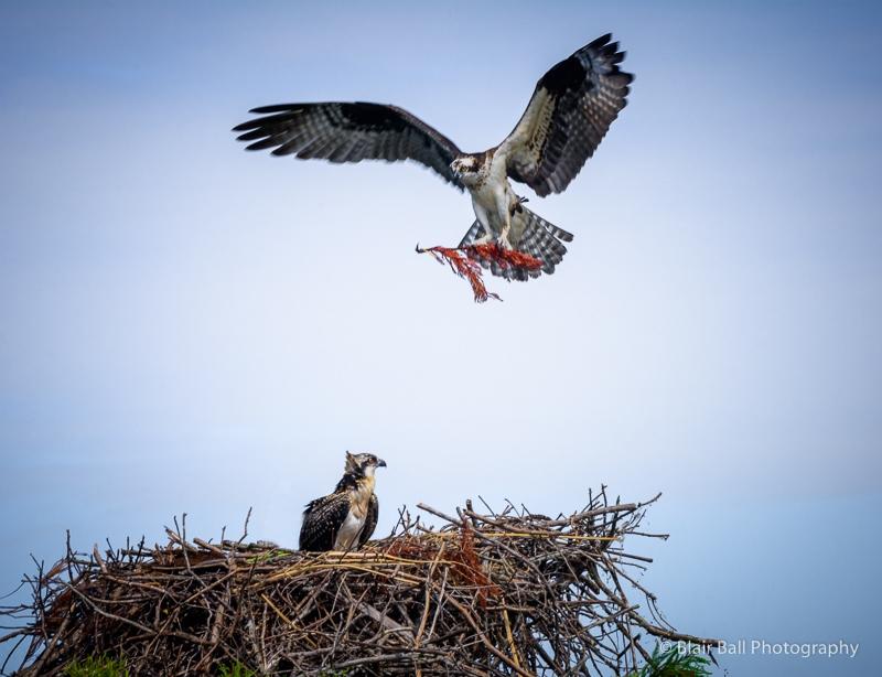 Reelfoot Lake Photography Workshop Osprey Images