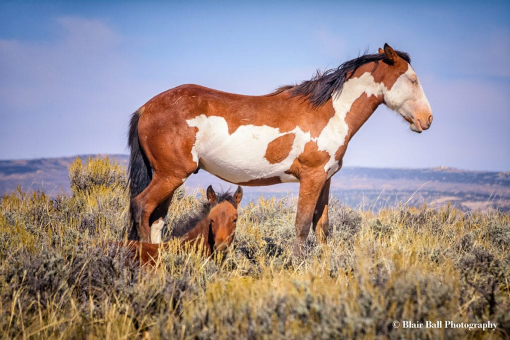 Wild Mustangs Colorado_Blair Ball Photography
